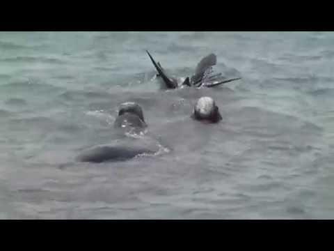Elephant Seals Swim Ocean Tail Piedras Blancas Conservation Mohr Productions