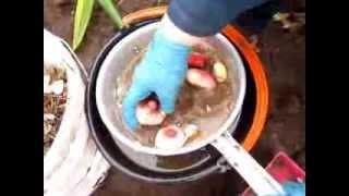 выкопка луковиц и деток гладиолусов от сайта http://korolgladiolus.ucoz.ru/
