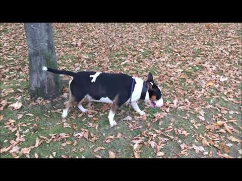 Miniature Bull Terrier zwischen Blätter und Bäumen