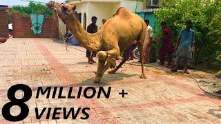 Camel Qurbani Video Part 1   2019   Eid e Qurban