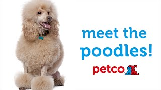 Poodle Dog Breed (petco)