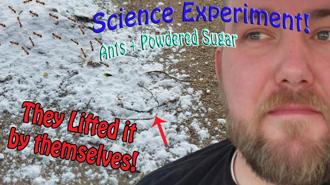 Ants and Powdered Sugar | Science Experiment | What will happen ...