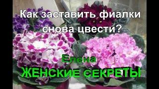Как заставить фиалку цвести? Омолаживаем фиалку.