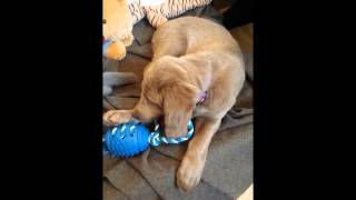 Diesel (long Hair Weimaraner Puppy) 8 Weeks 2 Days Old Playing With Blue Rope Ball Toy
