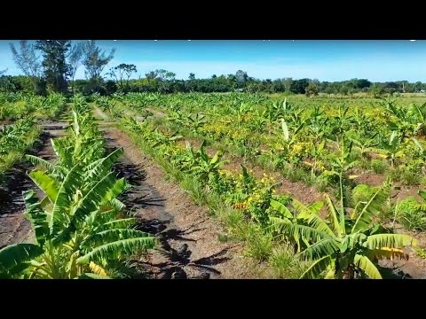 30-Acre High-Density Mango Planting // Using Bananas As A Support Species