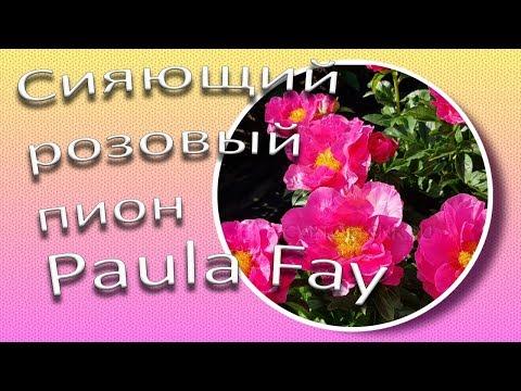 Сияющий розовый пион PAULA FAY / Славянский цветок