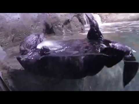 Rescued juvenile sea otter