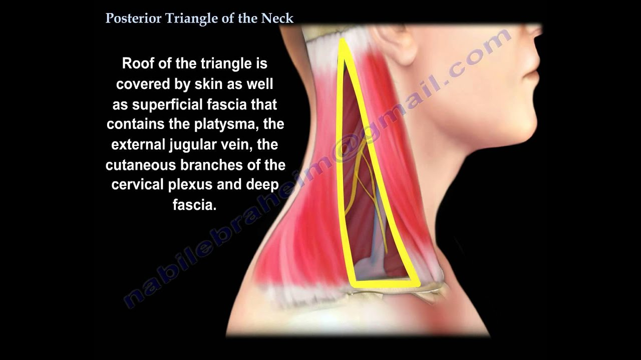 Posterior Triangle Of The Neck Everything You Need To Know Dr