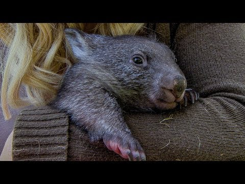 Orphan wombat's journey back to the wild | Nature's Miracle Orphans | BBC Earth