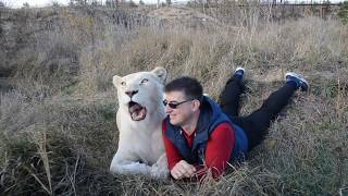 Вожак львов Чук принимает солнечные ванны ! Львица Герда показывает места для поцелуев !