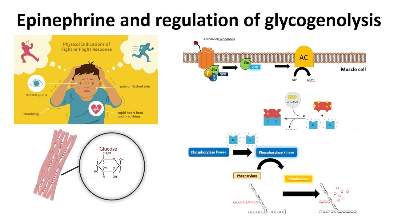 Epinephrine And Regulation Of Glycogenolysis