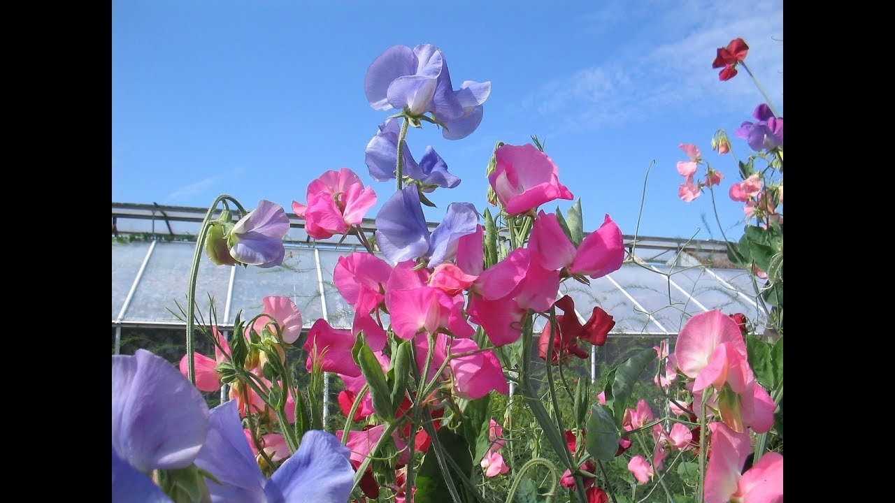 Amazing and most beautiful sweet pea flowers pictures youtube amazing and most beautiful sweet pea flowers pictures izmirmasajfo