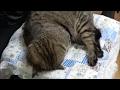 眩しそうに寝る猫 Sleeping cat