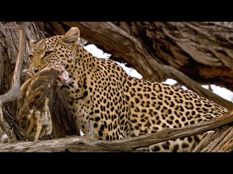 Download Amazing: Leopard Rockets Up a Tree to Catch Owls