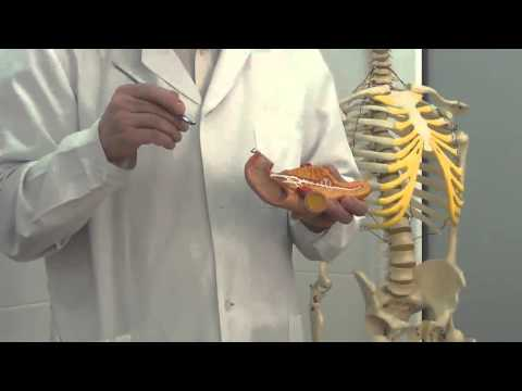 Отделы желудочно кишечного тракта