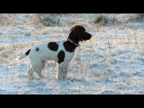 Springer Spaniel Puppy Playing in the Snow