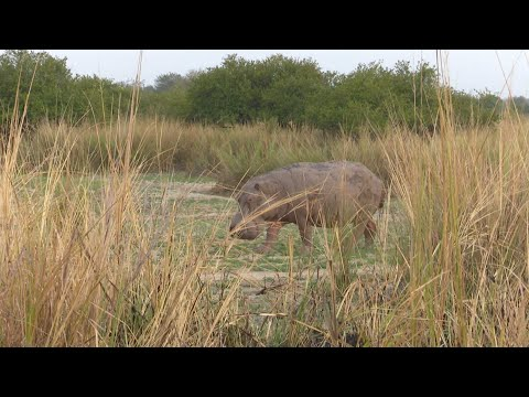 Hippo hunt on land! Best hunting in Africa Tanzania