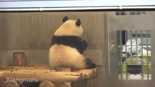 2019/8/17 ペレット、にんじん大好きになったシャンシャン♡  Giant Panda Xiang Xiang