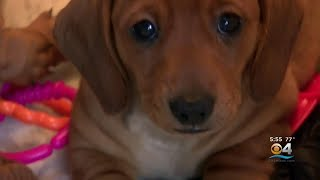 New Study Finds 'Puppy Dog Eyes' Are Evolutionary Trick Targeting Humans