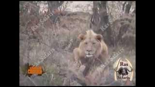 Gambar cover LEON MATADO CON FLECHAS EN SUDAFRICA MIENTRAS DESCANSA.