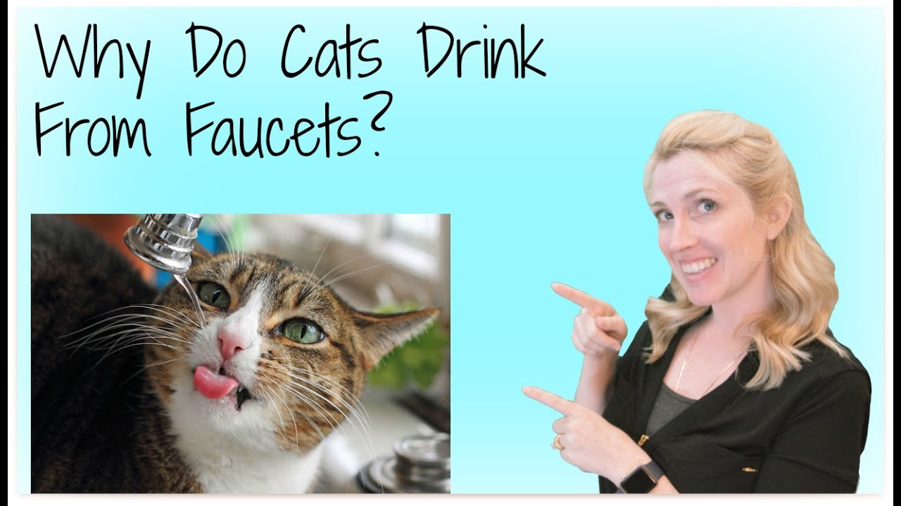 Why Does My Cat Drink Out Of The Faucet - YouTube