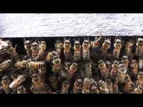 Honey Bees preparing to SWARM    swarm interrupted, swarm cells, drones