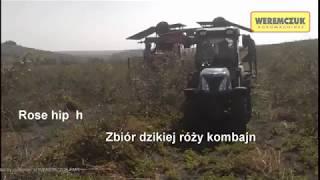 Rose hip harvesting with VICTOR Z harvester