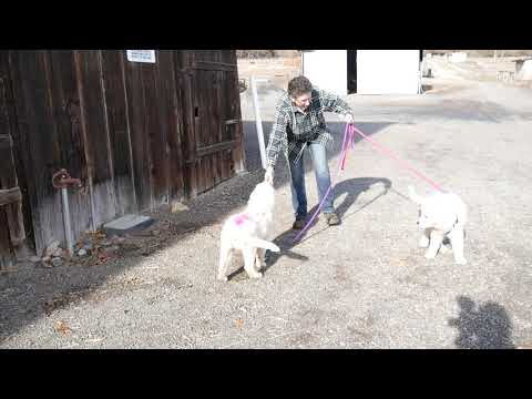 Follow Blush's Litter (19) – Leash Work & Car Rides – 14-15 wks