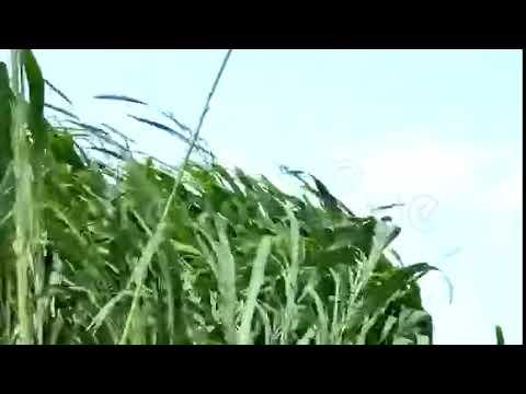 Napier Grass 马草/牧草