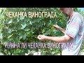 Виноград 2017 Чеканка винограда в августе Нужна ли чеканка винограда Работы с виноградом в августе mp3