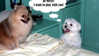 Gucci, The Maltese Vs Merzy, The Pomeranian