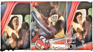 القرد زيتونة تبكى في السيارة مين يروح معي 🚗😂 أسامة الدغيري