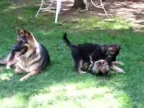 Starfire King Shepherd puppies at 8 weeks