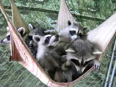 Raccoon Stealing Cat Food Cookout