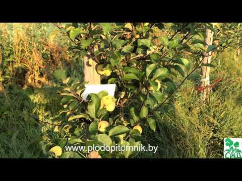 Яблоня сорт Коробовка (Ранетка, Медуничка, Скороспелка) / Ранние летние сорта яблонь