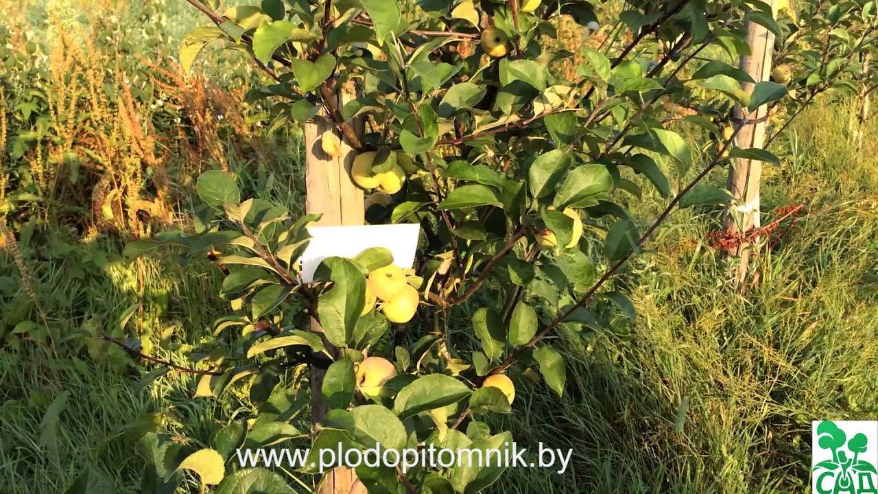коробовка яблоня описание фото отзывы
