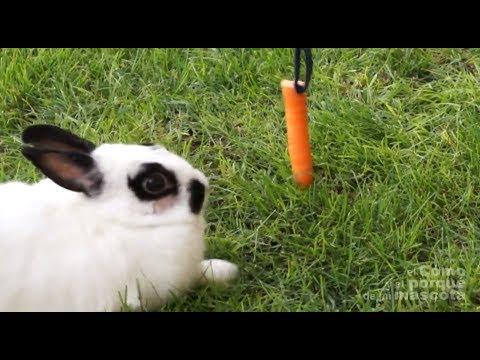 CONEJOS - El conejo gordo. Cómo adelgazar.