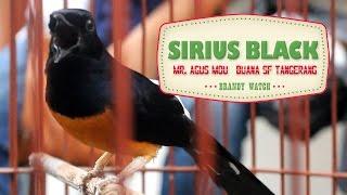Video BIRD PLANET : White Rumped Shama Singing Loud | Murai Batu SIRIUS BLACK download MP3, 3GP, MP4, WEBM, AVI, FLV Juli 2018