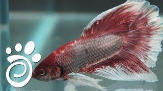 Каких Рыбок Можно Содержать В Одиночестве? Все О Домашних Животных