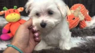 Cuddly companion, puppy male Maltese!