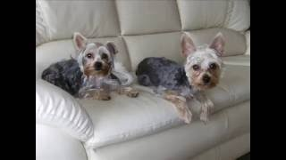 "Yorkie Billy And Booey  At "" Singapore Pet Hotel """