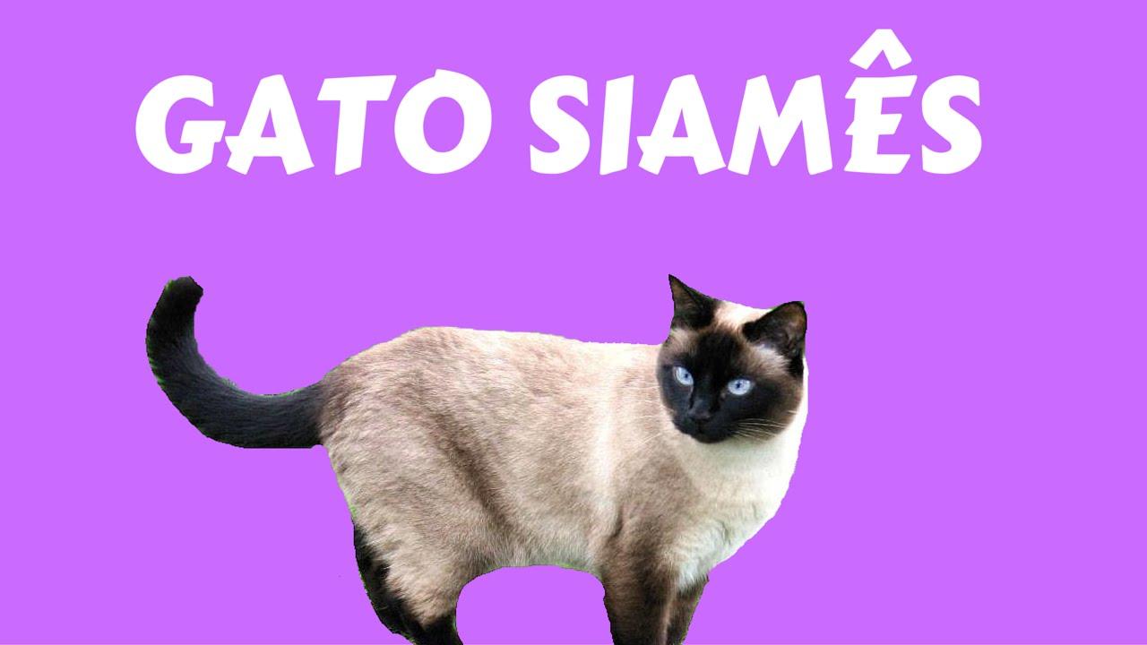 Gato siames veja que fofos e se divirta youtube - Fundas para unas de gato ...