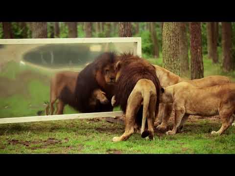 Kendini Aynada gören Aslanlar nasıl tepki gösterir