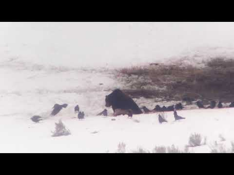 Yellowstone Grizzly Bears and Coyote Sharing a Meal in Yellowstone National Park