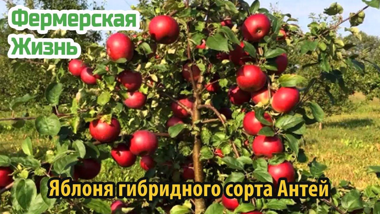 Яблоня гибридного сорта Антей