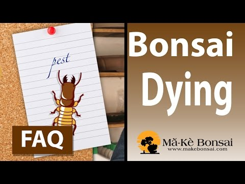 105) Why is my bonsai tree dying