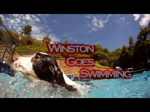 English Springer Spaniel Swimming - Winston The Dog Goes Swimming In The Pool!