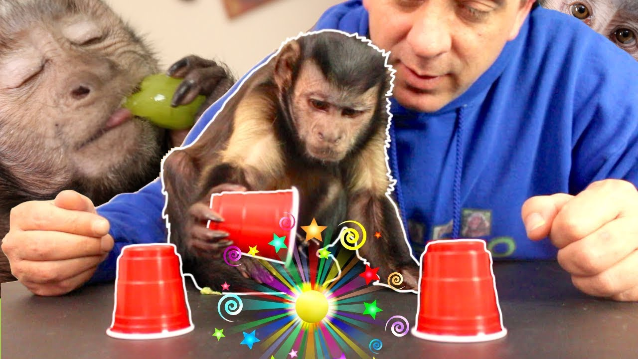 capuchin-monkey-magic-challenge-can-t-be-fooled