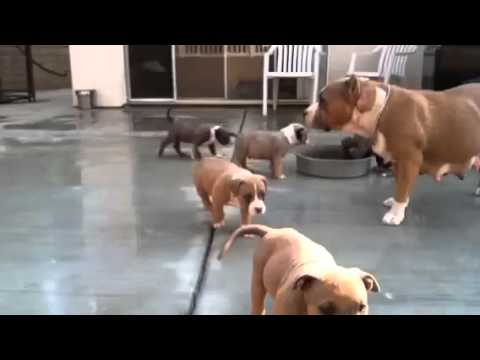 American Bully Pitbull Puppies For Sale 7 Weeks Youtube