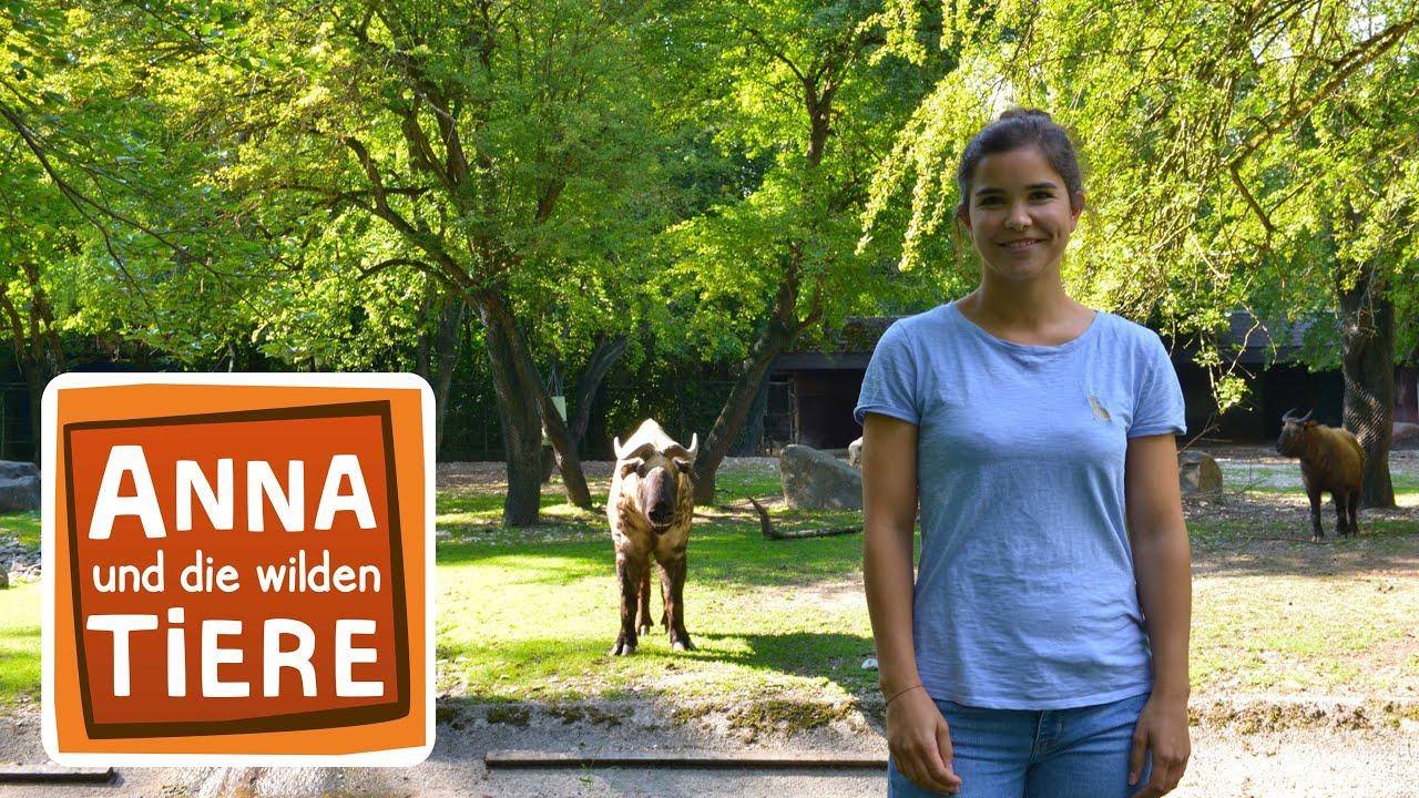 Hier Stinkt S Nach Takin Doku Reportage Fur Kinder Anna Und Die Wilden Tiere Youtube